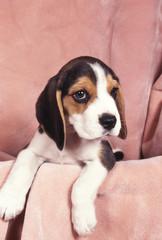 Beagle tu veux ma photo ?!