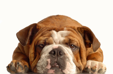 english bulldog lying down face on with silly expression