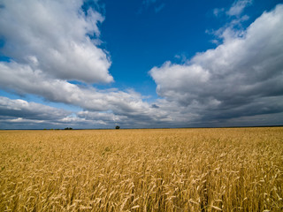 Landscape with cornfield under dramatic leaden sky