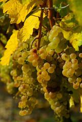 Wein - grape 28