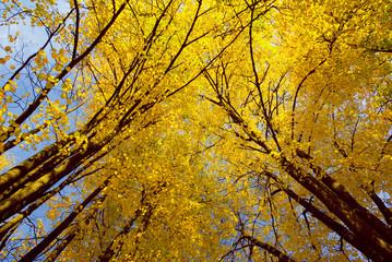 Yellow maple trees in autumn