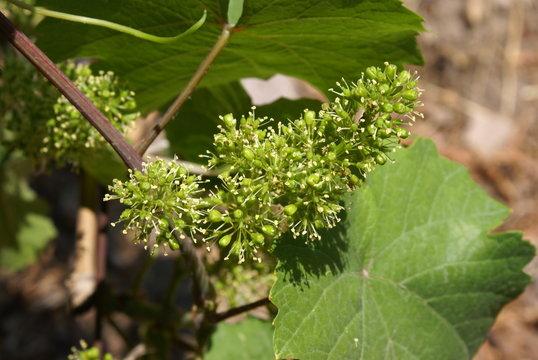 Blühender Wein