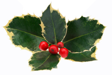 Decorative holly sprig with red berries. Isolated