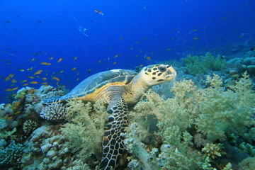 Hawksbill turtle feeding on soft corals