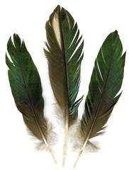 Three raven feathers on white background