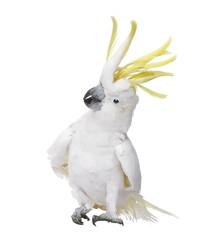 Fond de hotte en verre imprimé Perroquets Sulphur-crested Cockatoo in front of a white background
