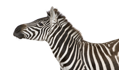 Aluminium Prints Zebra Zebra (4 years) in front of a white background