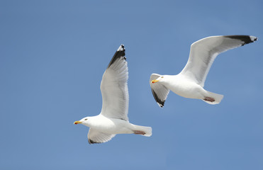 Two seagulls in the bluw sky Wall mural