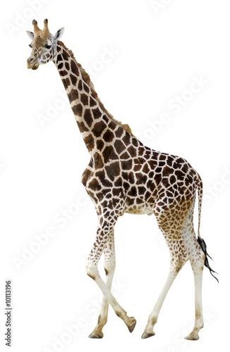 D tourage d 39 une girafe photo libre de droits sur la for Prix d une girafe a poncer