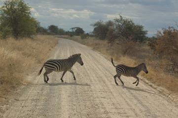 Aluminium Prints Zebra A zebra crossing the dirt road, Tanzania