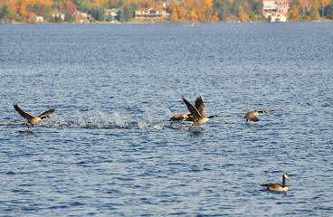 Canada geese take off from a lake in Northern Ontario.