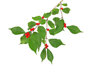 Holly berries on a tree branch isolated on white