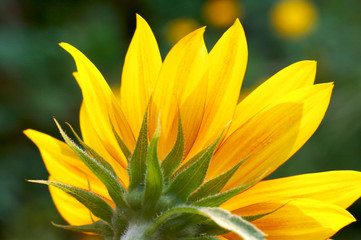 ornamental sunflower