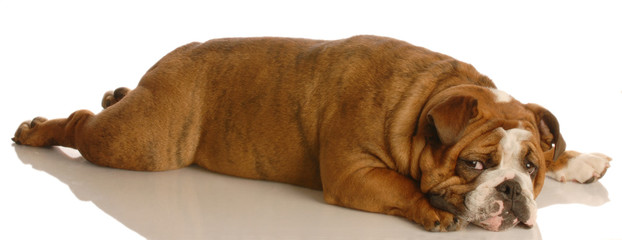 red brindle english bulldog stretched out lying down