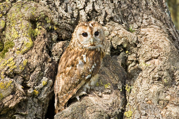 Tawny Owl on tree trunk