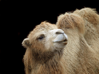 Close-up shot of camel on dark background