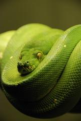 Green Tree Python 4