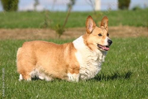 Chien bicolore court sur patte photo libre de droits sur - Image patte de chien gratuite ...