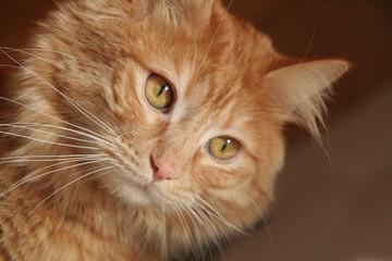 Orange and red cat