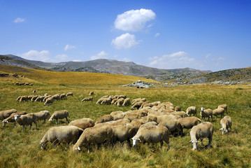 Sheep on the Bistra mountain from Macedonia