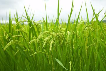 Green rice field in japan