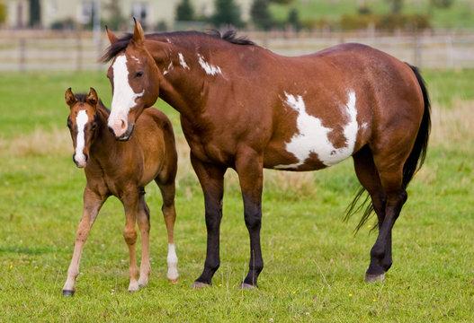 Pferde - Stute mit Fohlen
