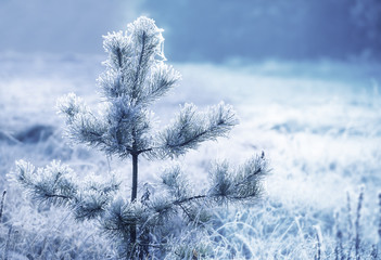 Frozen christmas tree. Blue tone. Shallow DOF..
