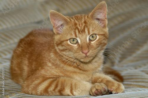 chaton tabby roux photo libre de droits sur la banque d 39 images image 10215351. Black Bedroom Furniture Sets. Home Design Ideas
