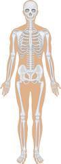 Skeletal system on white