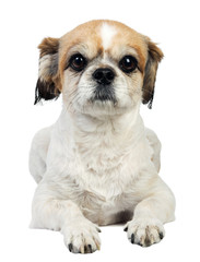 pekingese isolated dog on white