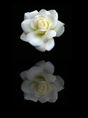 Rose reflet
