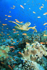 Hawksbill Turtle swims through cloud of Anthias