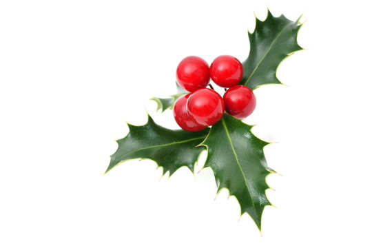 Sprig of European holly isolated on white