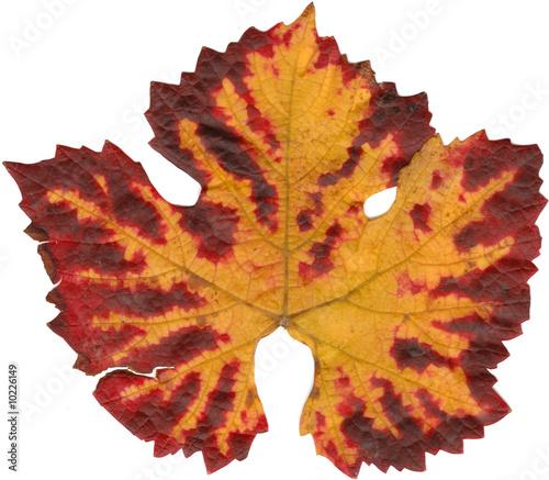 feuille de vigne automne photo libre de droits sur la banque d 39 images image 10226149. Black Bedroom Furniture Sets. Home Design Ideas