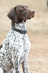 German shorthaired pointer dog sitting in field