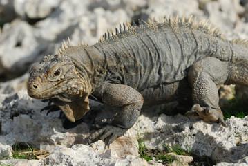 Iguana of Caribbean Islands, Cayo Largo del Sur, Cuba