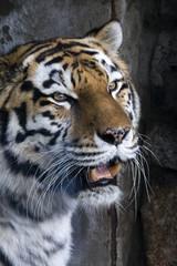 tiger portrait wich open mouth