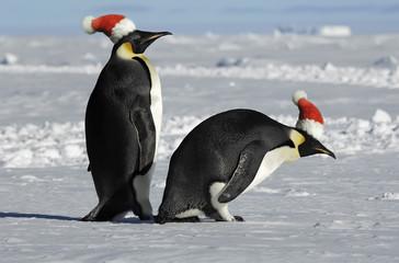 Antarctic penguin couple on Christmas
