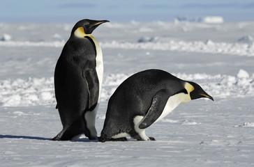 Antarctic penguin couple