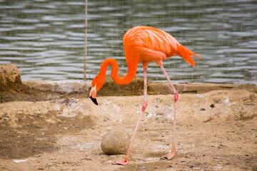 the single pink flamingo in zoo closeup