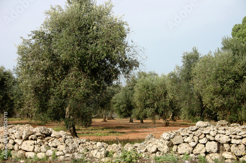Alberi olivo immagini e fotografie royalty free su for Albero ulivo vettoriale