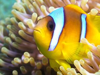 Amenone fish
