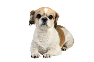 studio shot of a pekingese dog on white