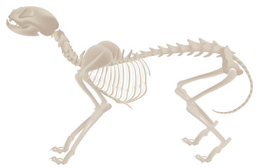 dog bones structure skeletal system illustration