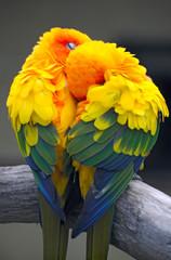 a couple of parrots - the Sun Conure