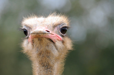 the face of the ostrich