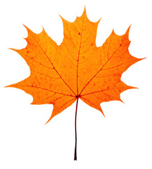 autumn maple-leaf, isolated on a white background