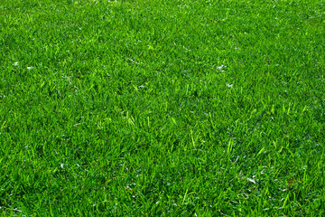 Green lawn. it can be used as background