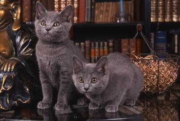 chatons chartreux dans une attitude rare
