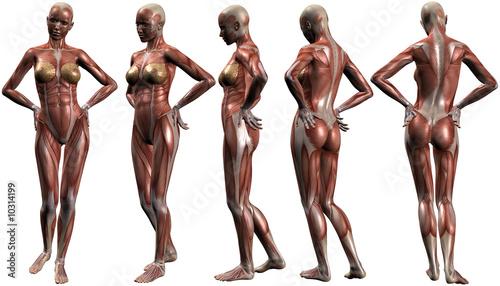 Weiblich Menschlicher Körper-Anatomie\